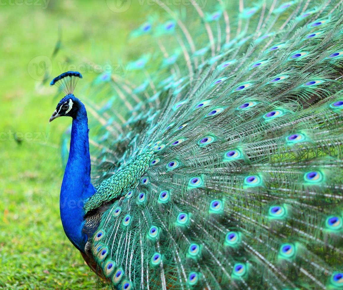 pavo real con sus plumas extendidas con azules y verdes foto