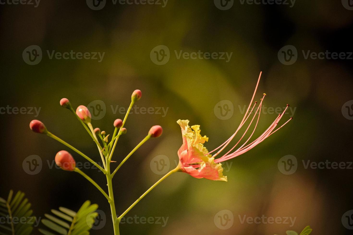 Caesalpinia pulcherrima, poinciana, flor de pavo real foto
