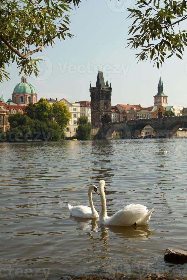 Swan in Prague. photo