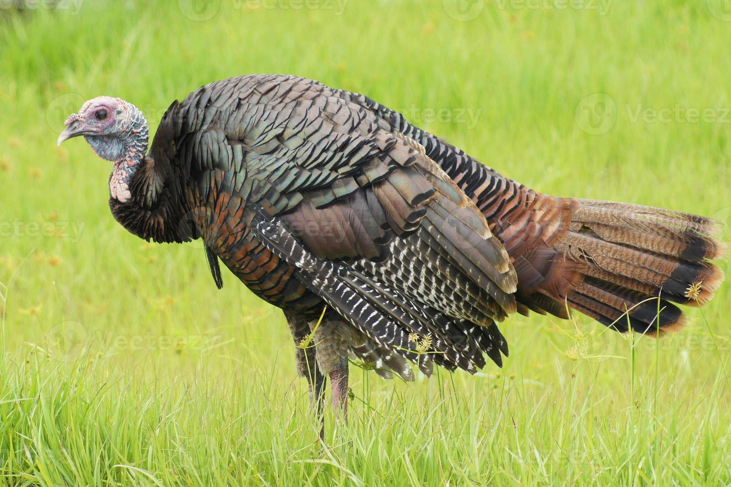 Wild Thanksgiving Day Turkey photo
