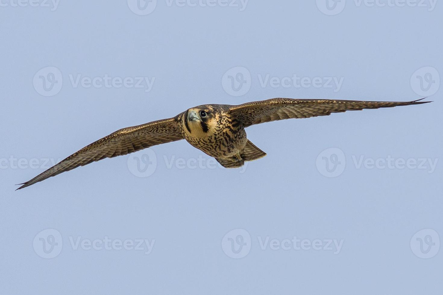 peregrino juvenil en vuelo foto