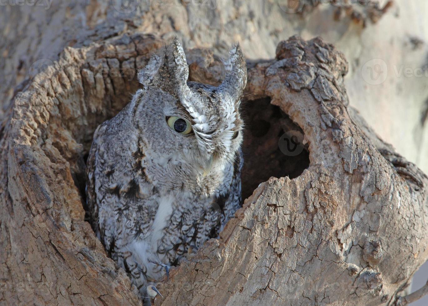 Screech Owl, fase gris, Nueva York, EE.UU. foto