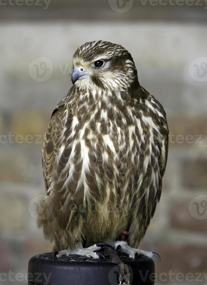 Merlin - Bird of Prey (Female) photo