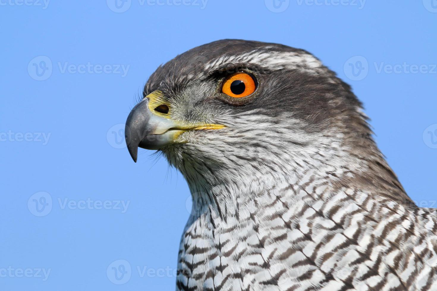 Northern goshawk photo