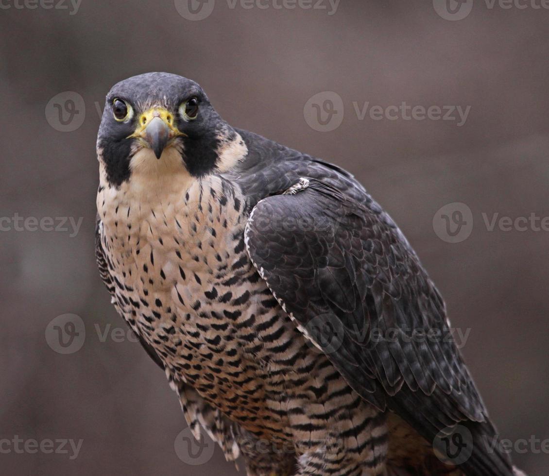 mirada de halcón peregrino foto