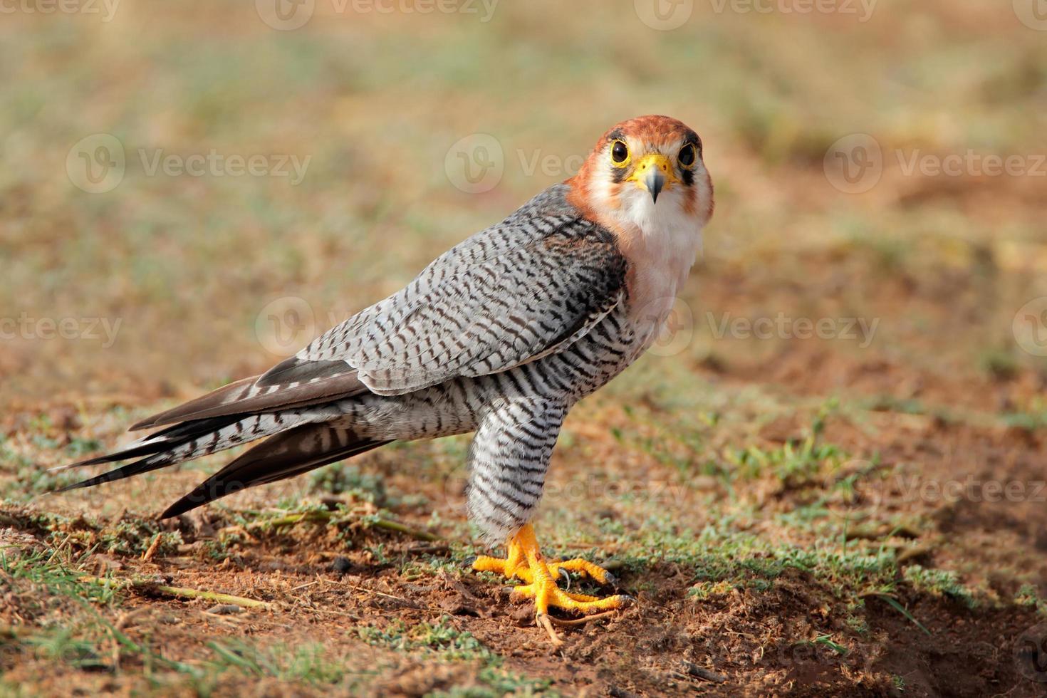 Red-necked falcon photo