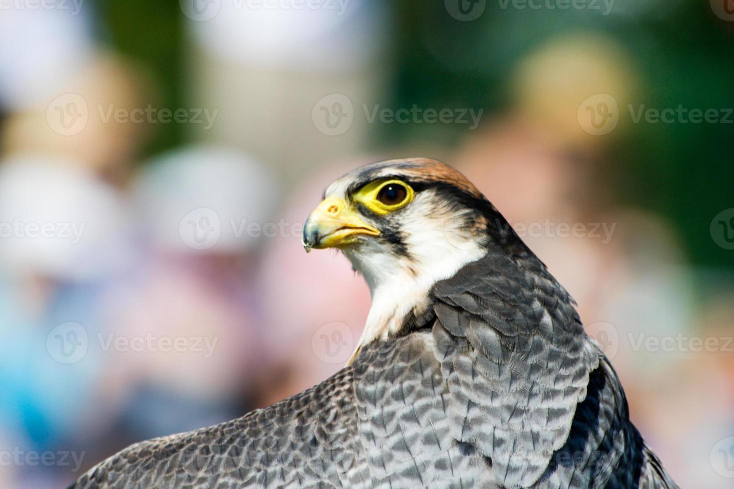 cabeza de halcón lanner foto