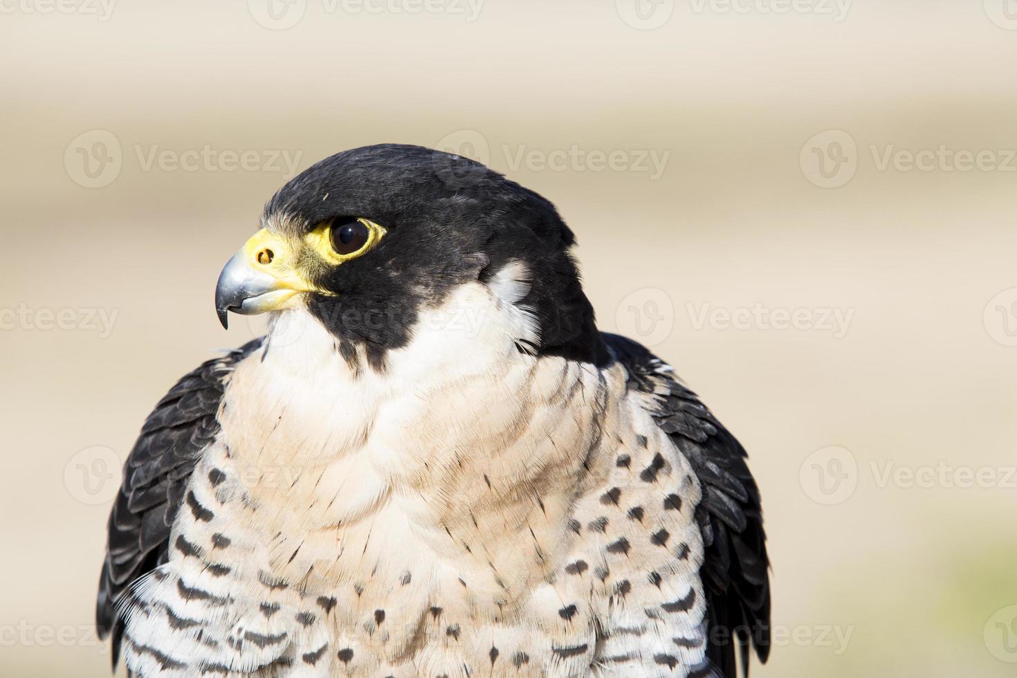 falco peregrinus ave de rapiña, cetrería. foto