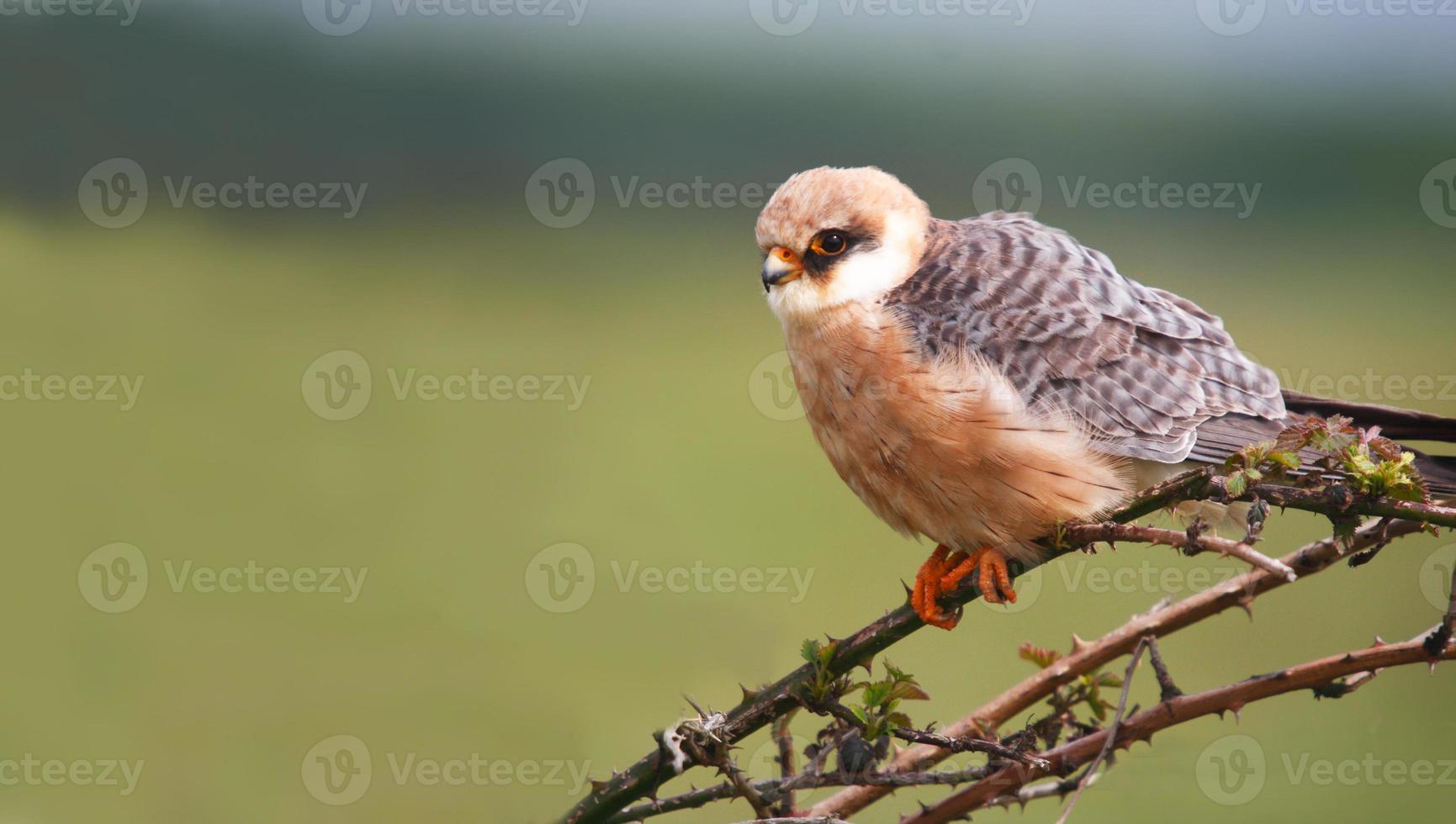 halcón de patas rojas falco vespertinus foto