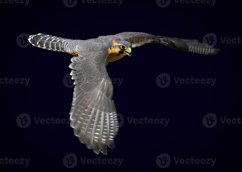 halcón aplomado foto