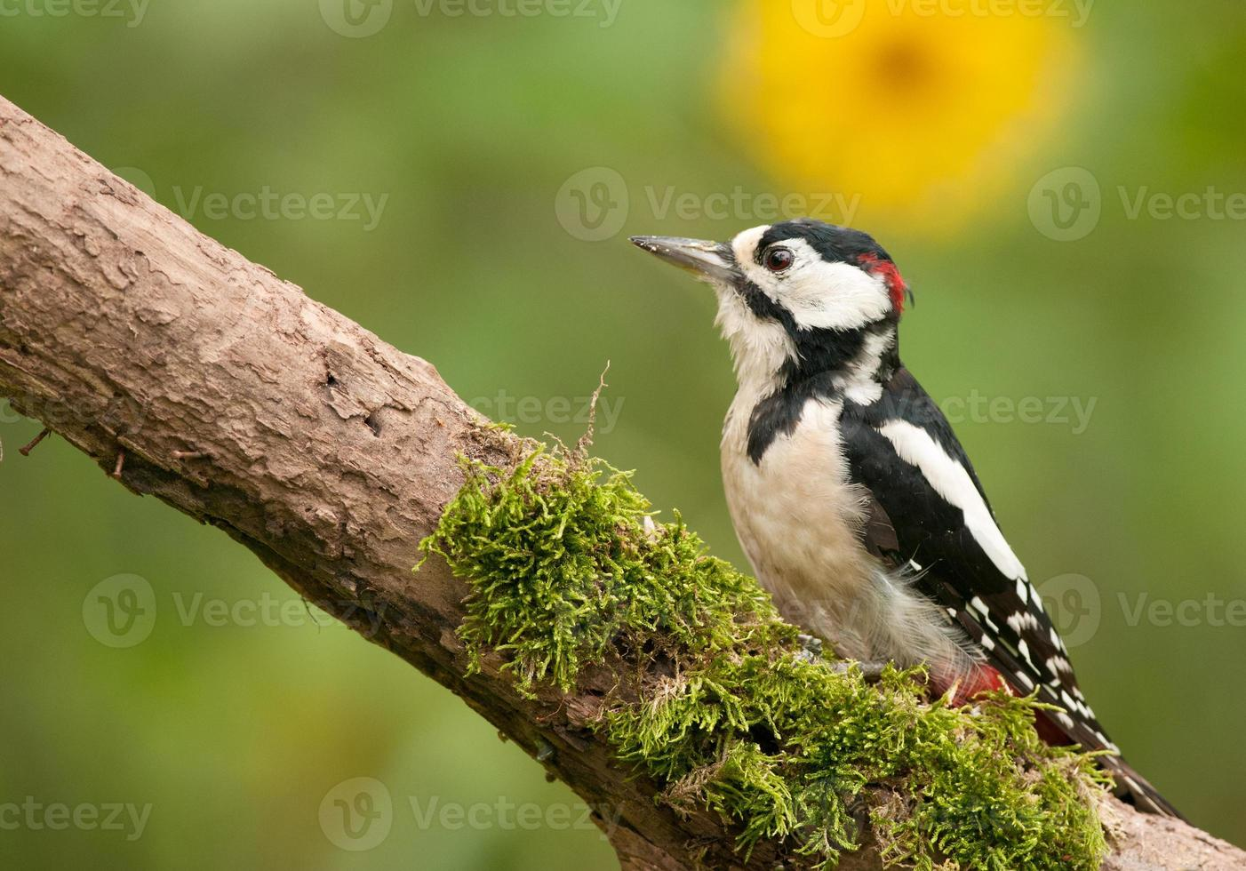 Adult male of the great spotted woodpecker photo