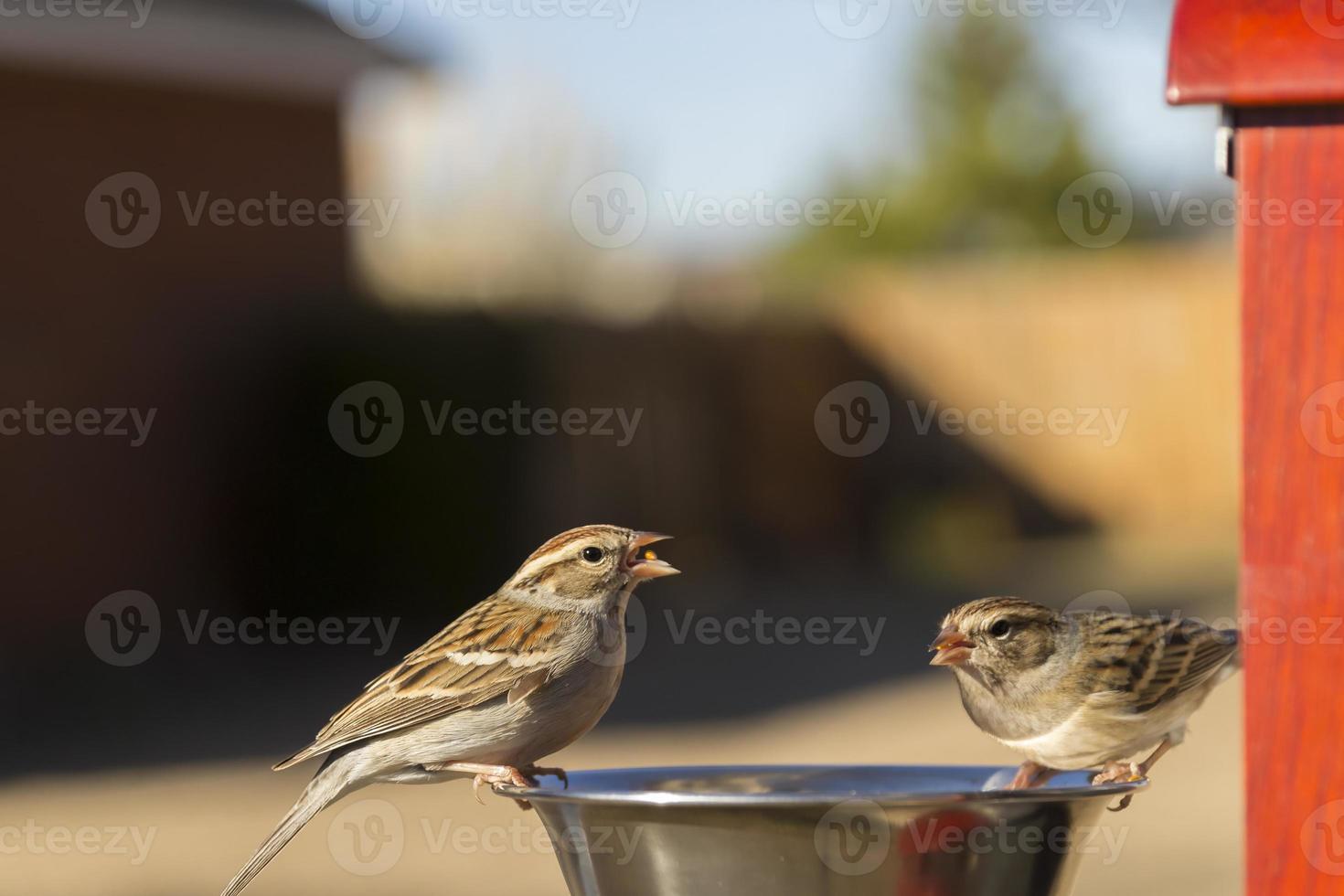 gorriones comiendo foto