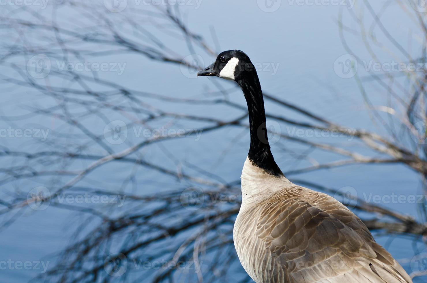 Canada Goose Looking Out Over the Lake photo