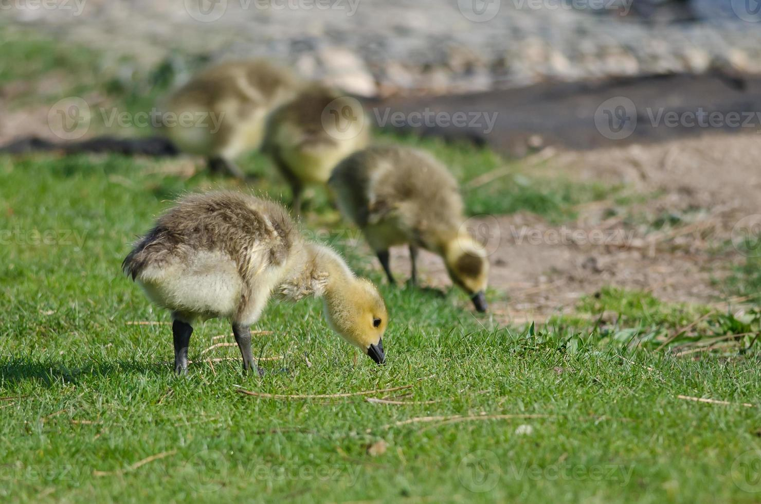 Adorable Little Gosling Looking for Food in the Green Grass photo