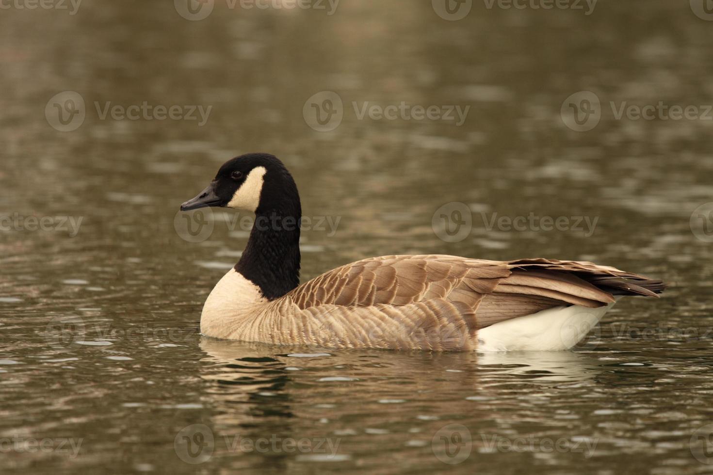 Canadian Goose On Lake photo