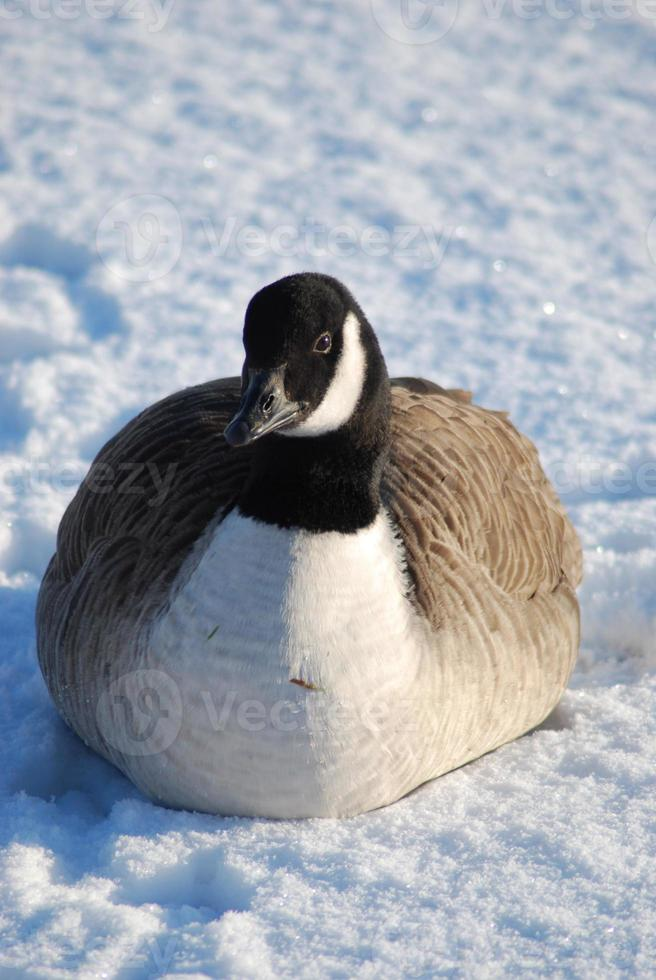 Canadian goose on snow photo