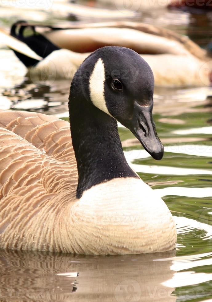 Canadian Goose Branta Canadensis Geese photo