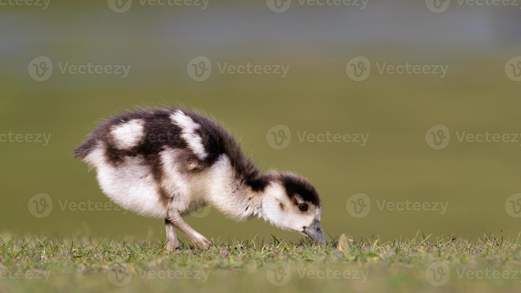 Egyptian Goose (gosling) photo
