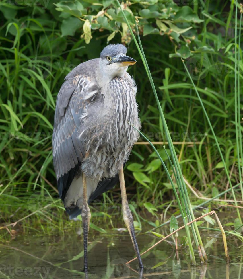 Great Blue Heron photo