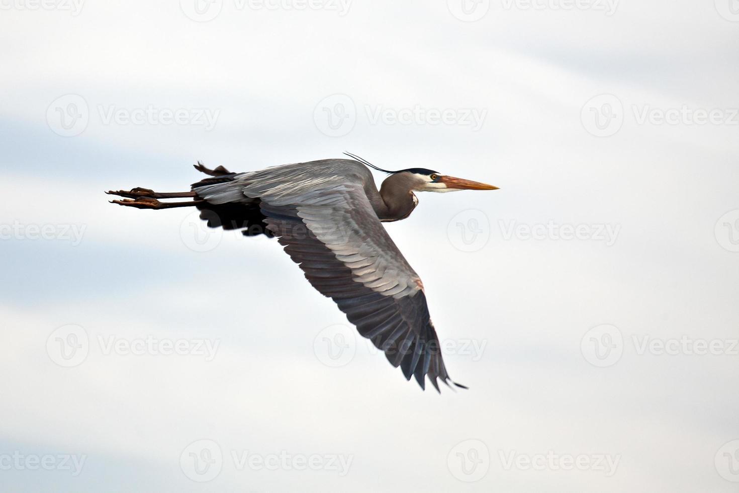 Great Blue Heron in flight photo