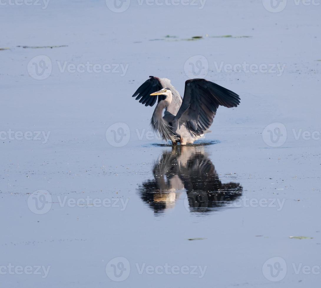 Garza azul con alas abiertas foto