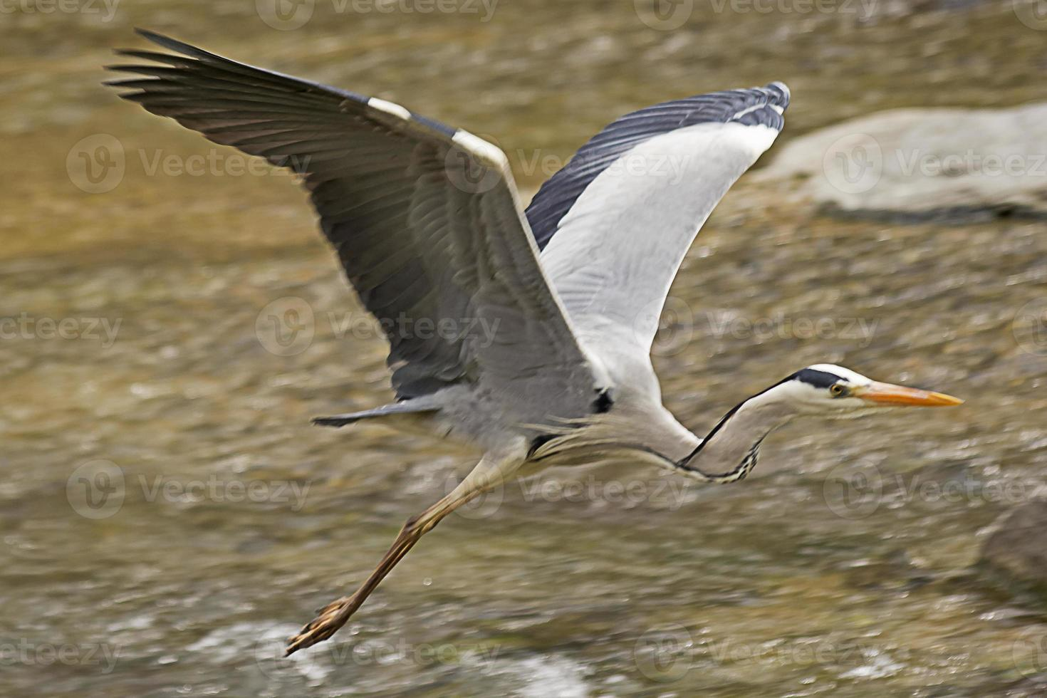 Grey Heron's Dashing Forward. photo