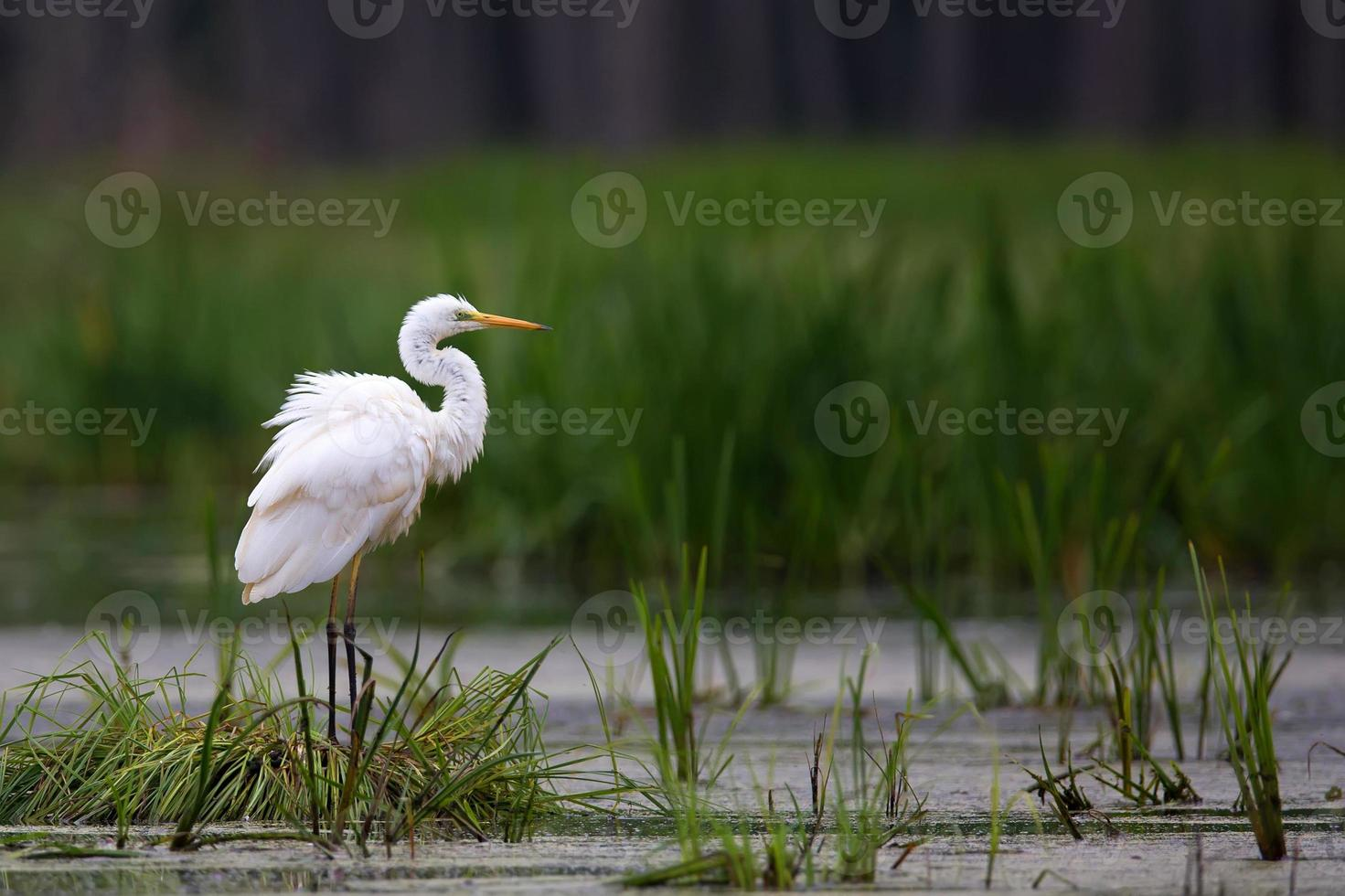 Great Egret in the wild photo