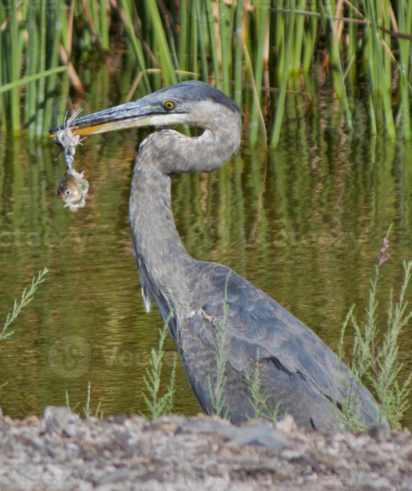 pájaro alimentándose de un pez foto