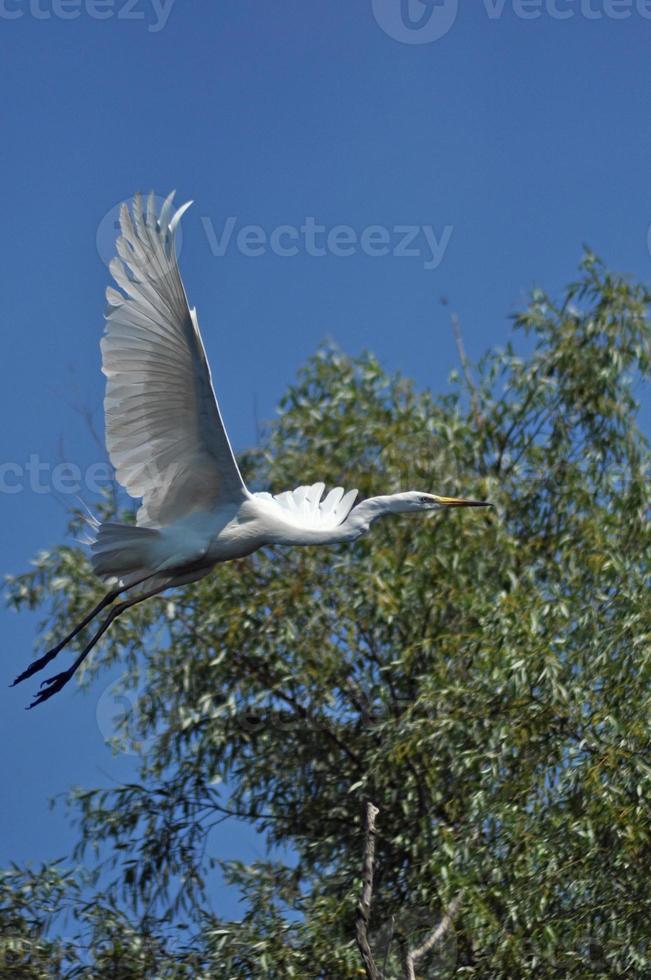 White egret, heron in the Danube delta photo