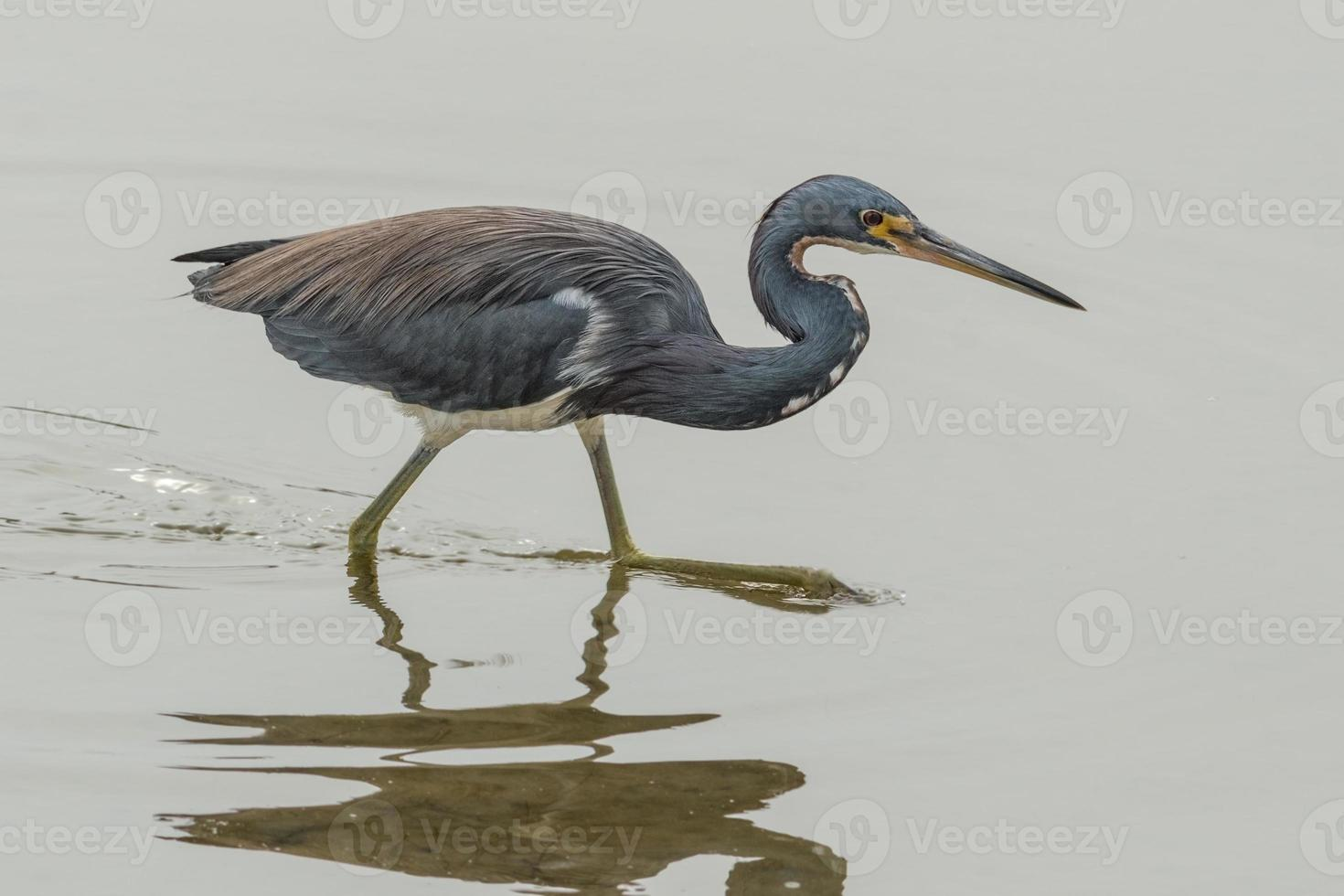 Tricolor heron on the hunt photo