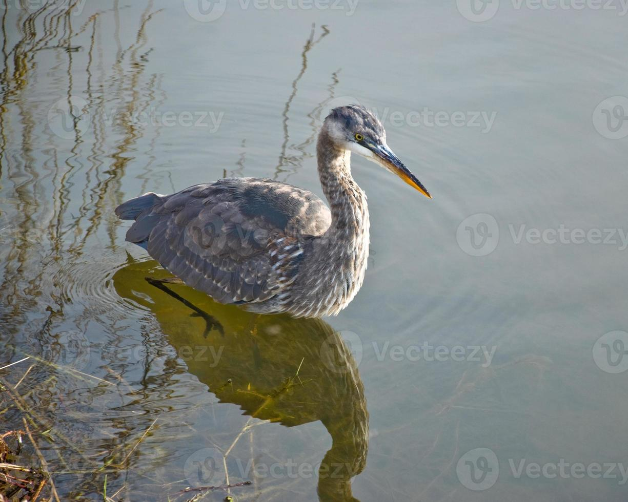 Blue Heron Hunting in the Water photo