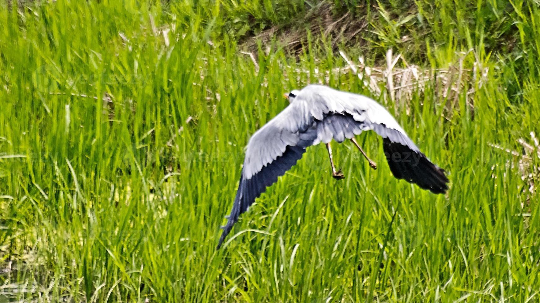 Grey Heron in Flight photo