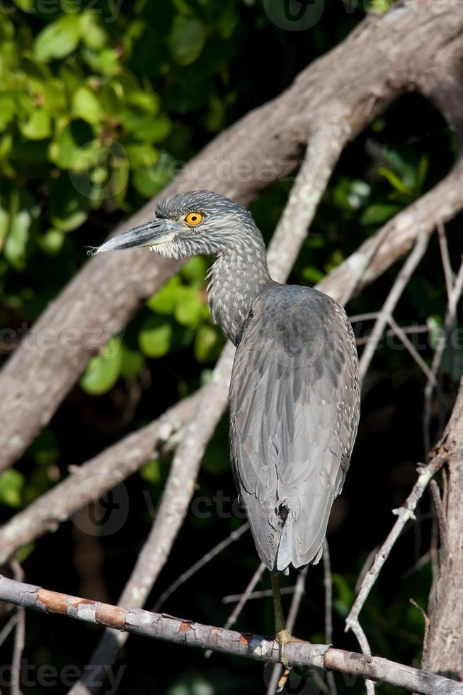 Yellow-crowned Night-Heron photo