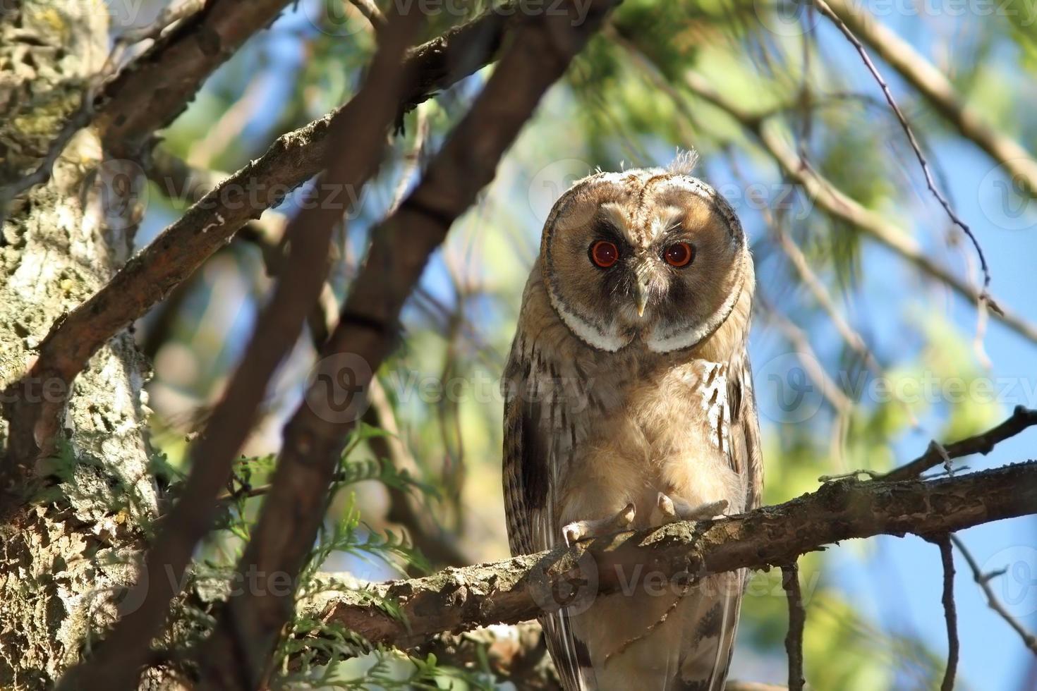 juvenile long eared owl photo