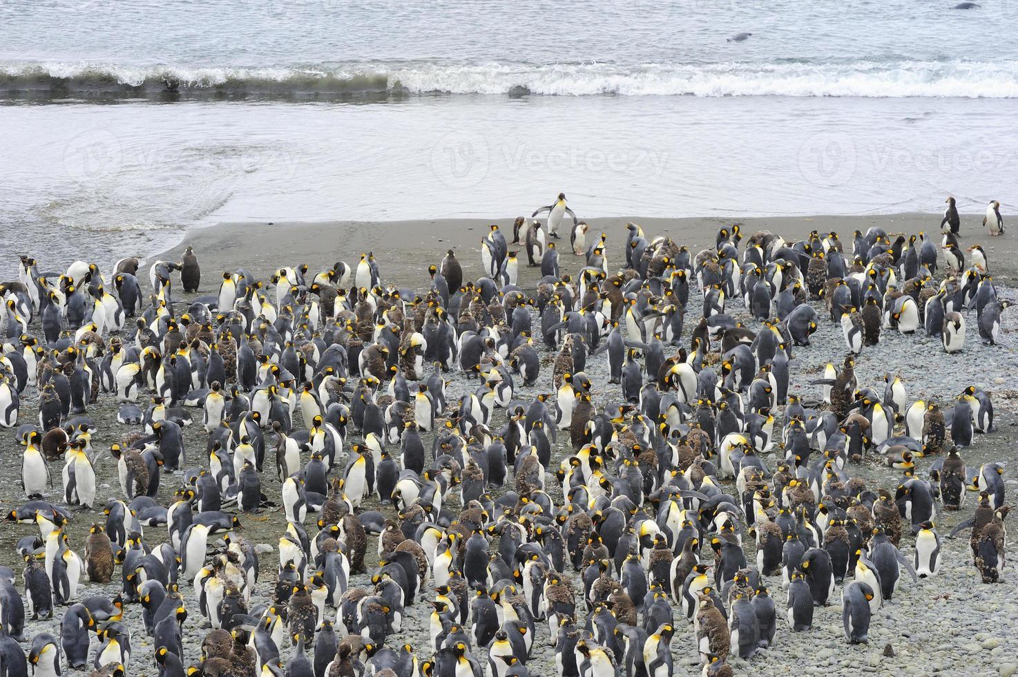 King Penguin (Aptenodytes patagonicus) photo