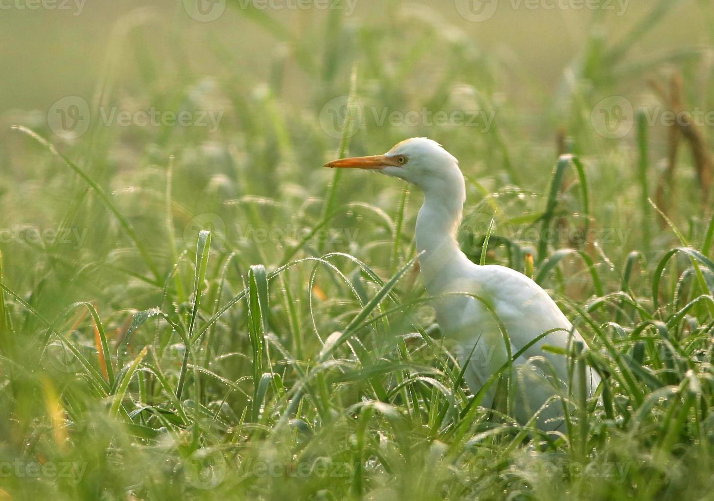 White heron photo