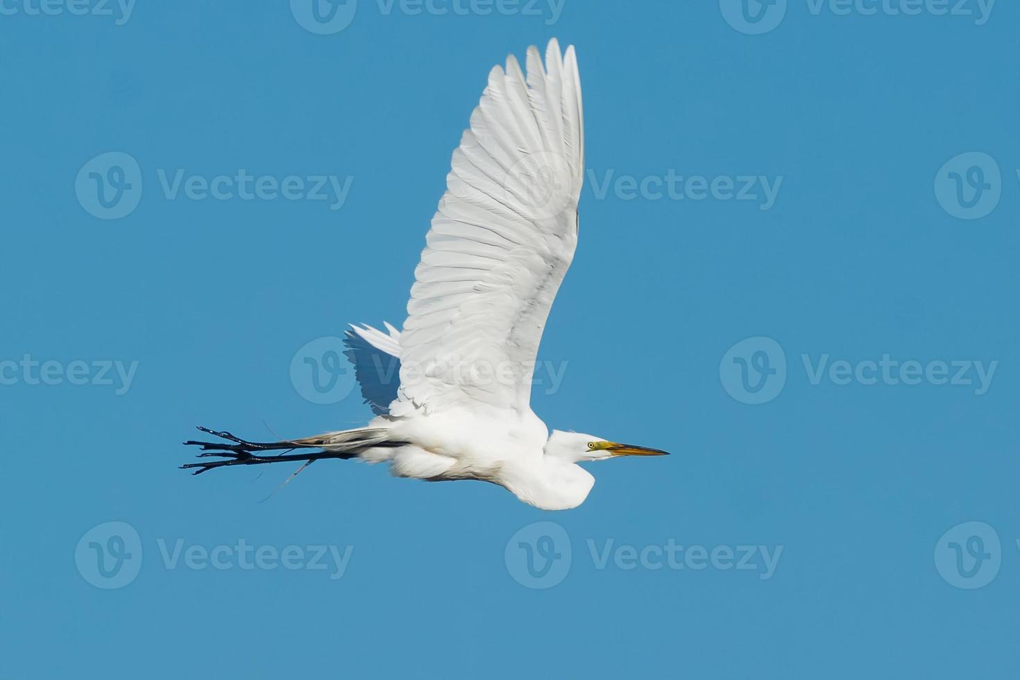Great Egret photo