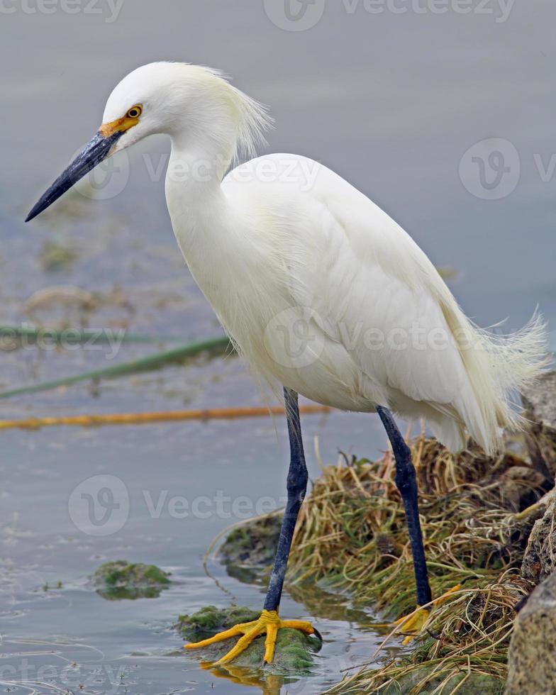 Snowy Egret in vertical format photo