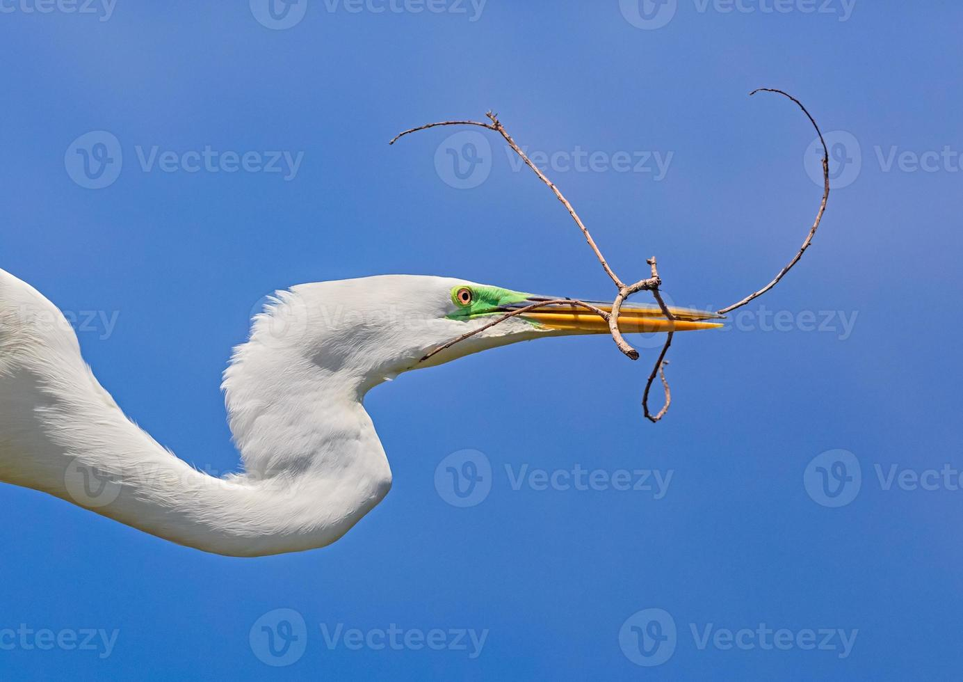 Egret with Twig photo