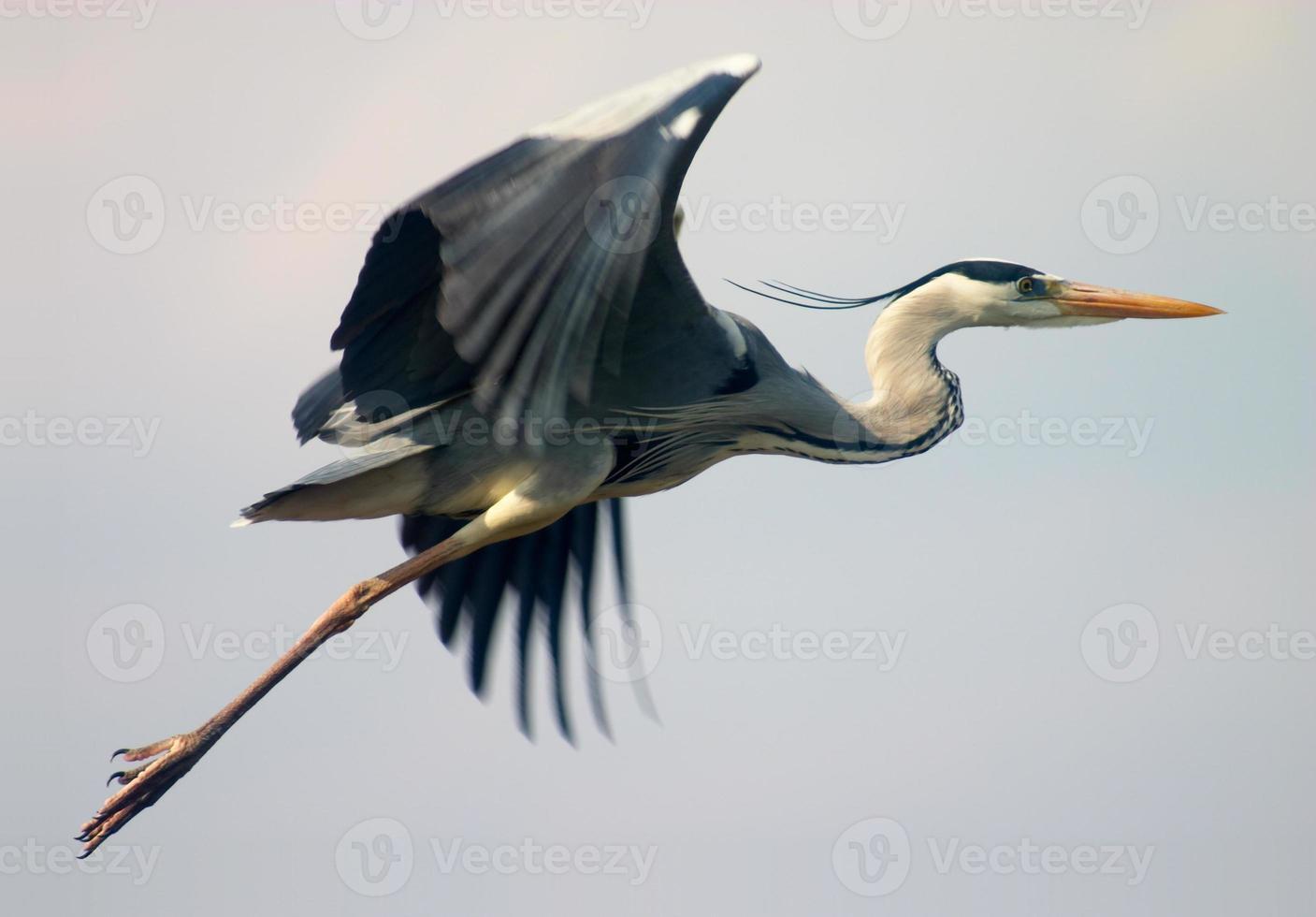flying heron bird photo