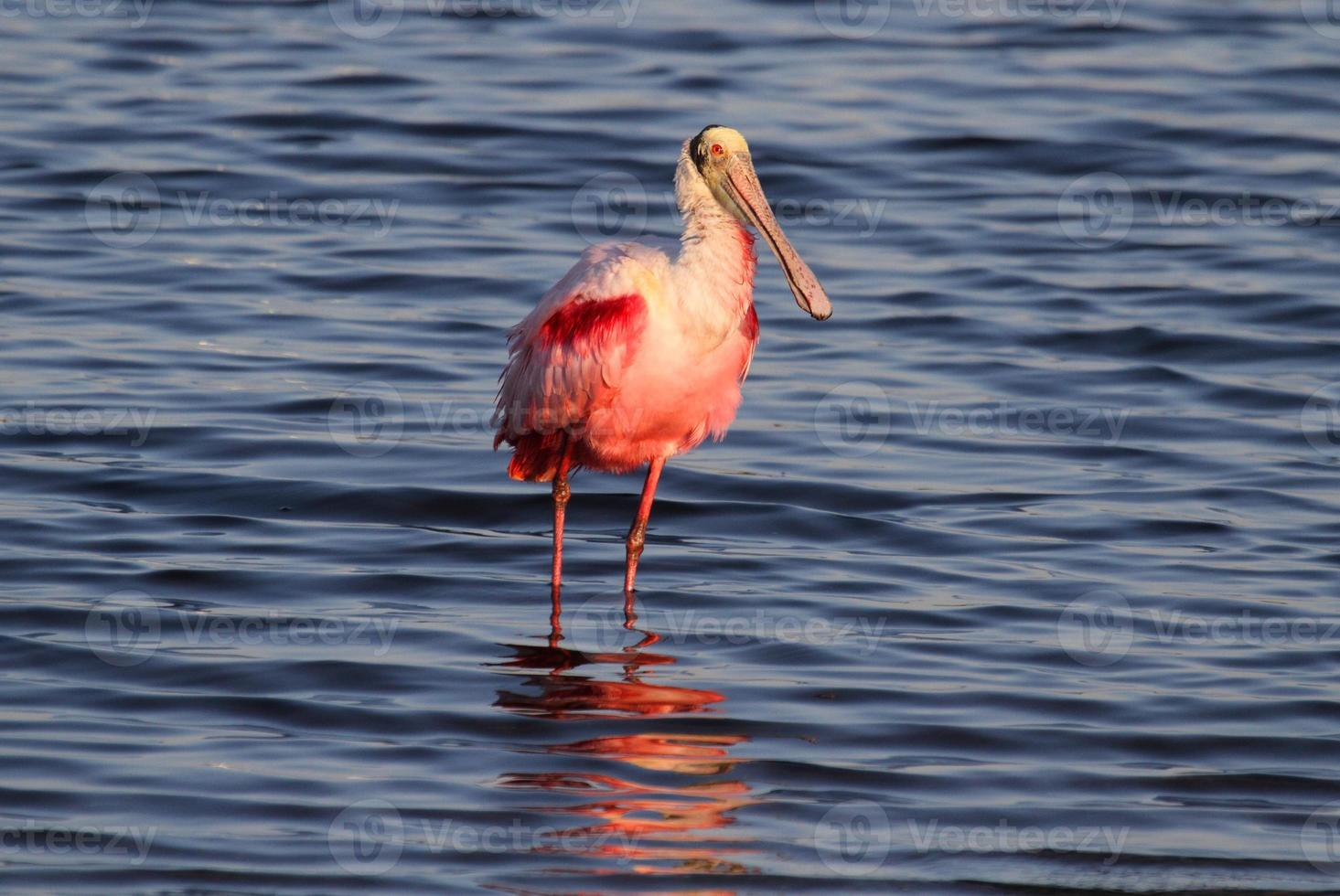 Roseate Spoonbill Hunting In Water photo