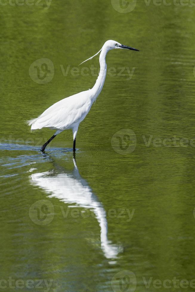Little egret in Pottuvil, Sri Lanka photo