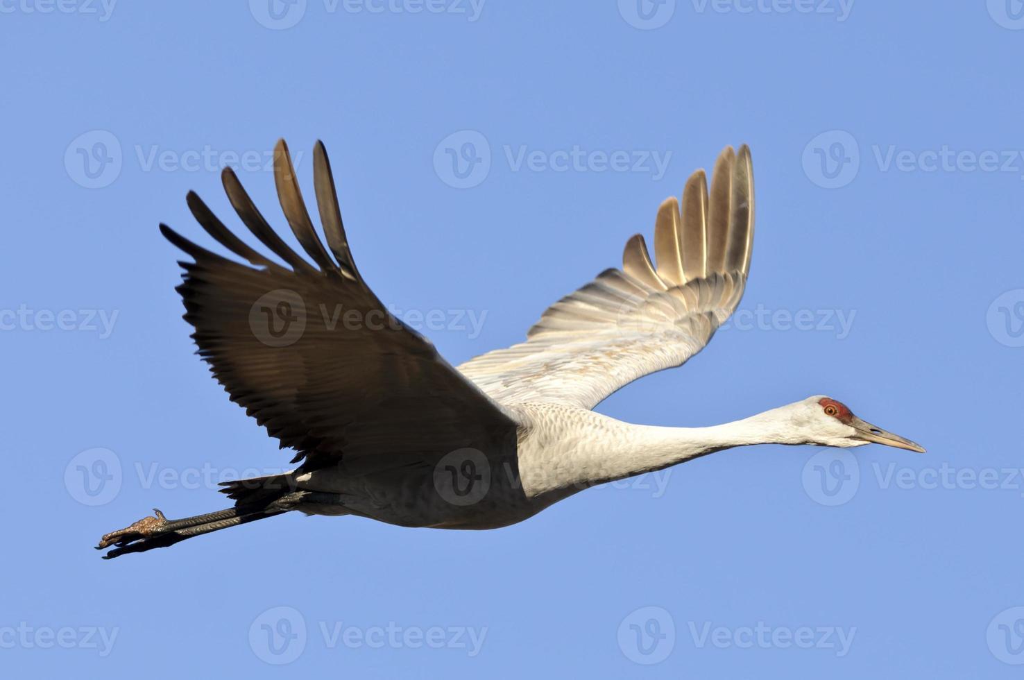 Sandhill Crane (Grus canadensis) aislado en un cielo azul foto