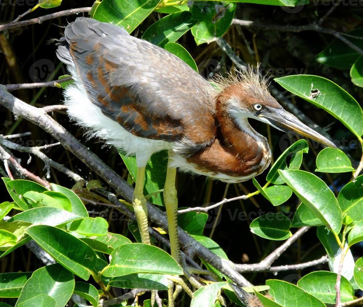 Tricolored Heron juvenile  (Egretta tricolor) photo
