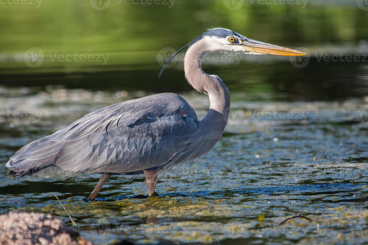 Great Blue Heron Fishing photo