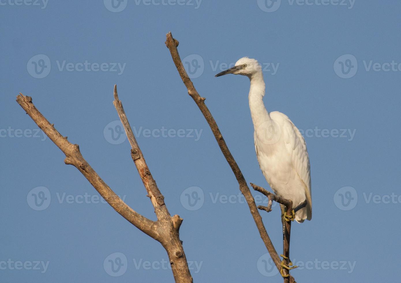 Little Egret (Egretta garzetta) photo