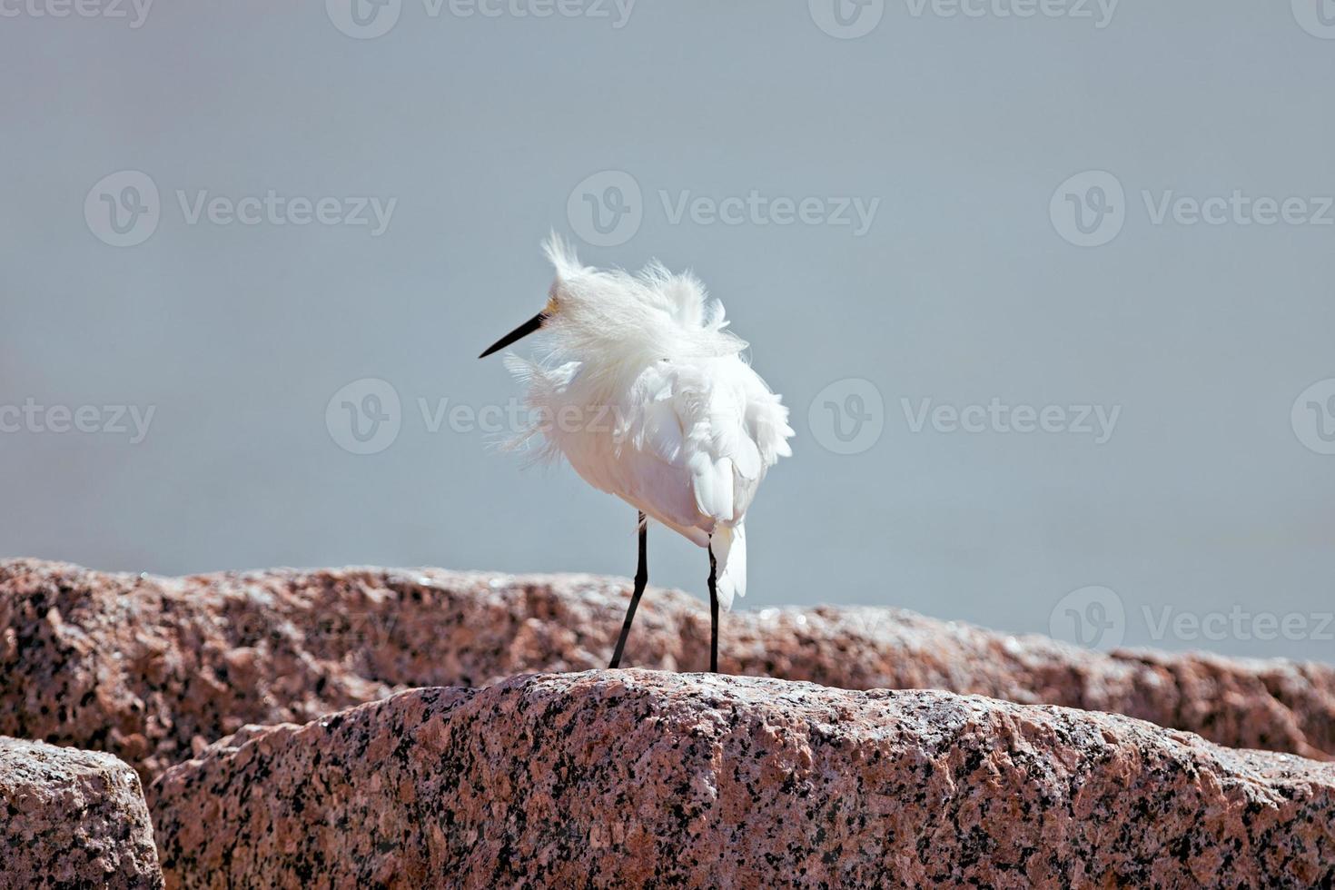 Snowy egret photo