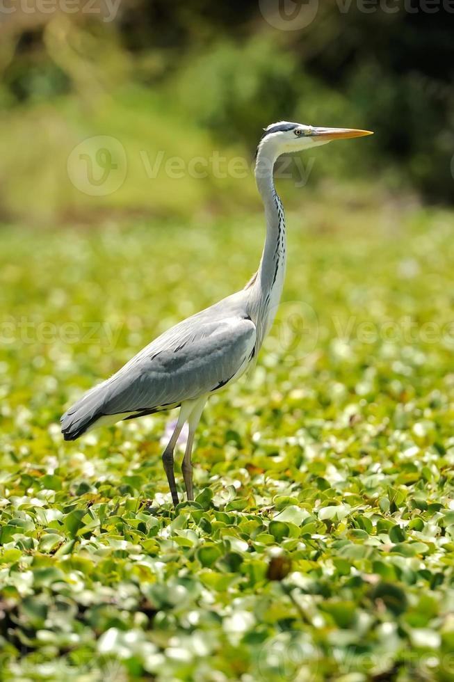 Heron (Ardea goliath) photo