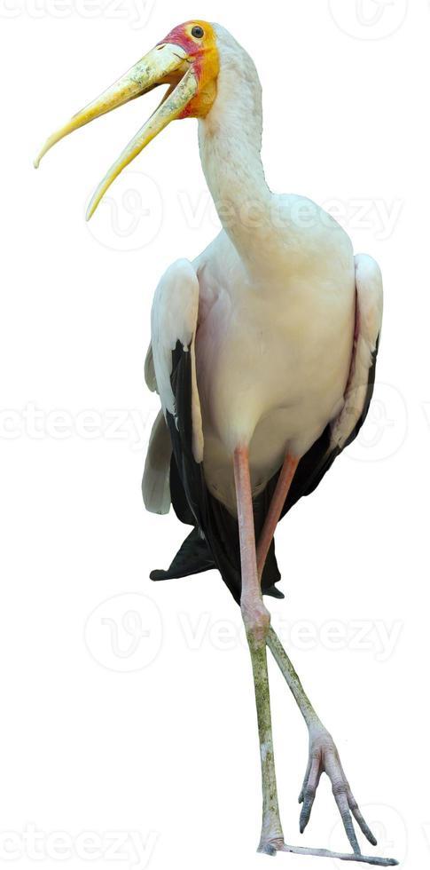 Milky Stork photo