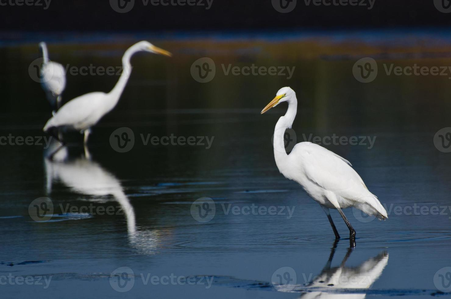 Three Great Egrets Hunting for Fish photo